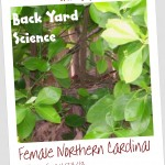 Back Yard Science: Hello, Mama Cardinal!