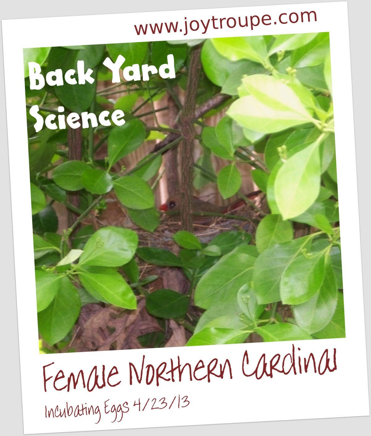 backyardsciencecardinalmama