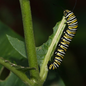 Monarch caterpillar courtesy of Bistrosavage on Flickr Creative Commons