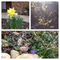 Spring Blooms collage daffodil periwinkle and forsythia