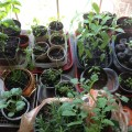 Seeds started by sunny window 2014