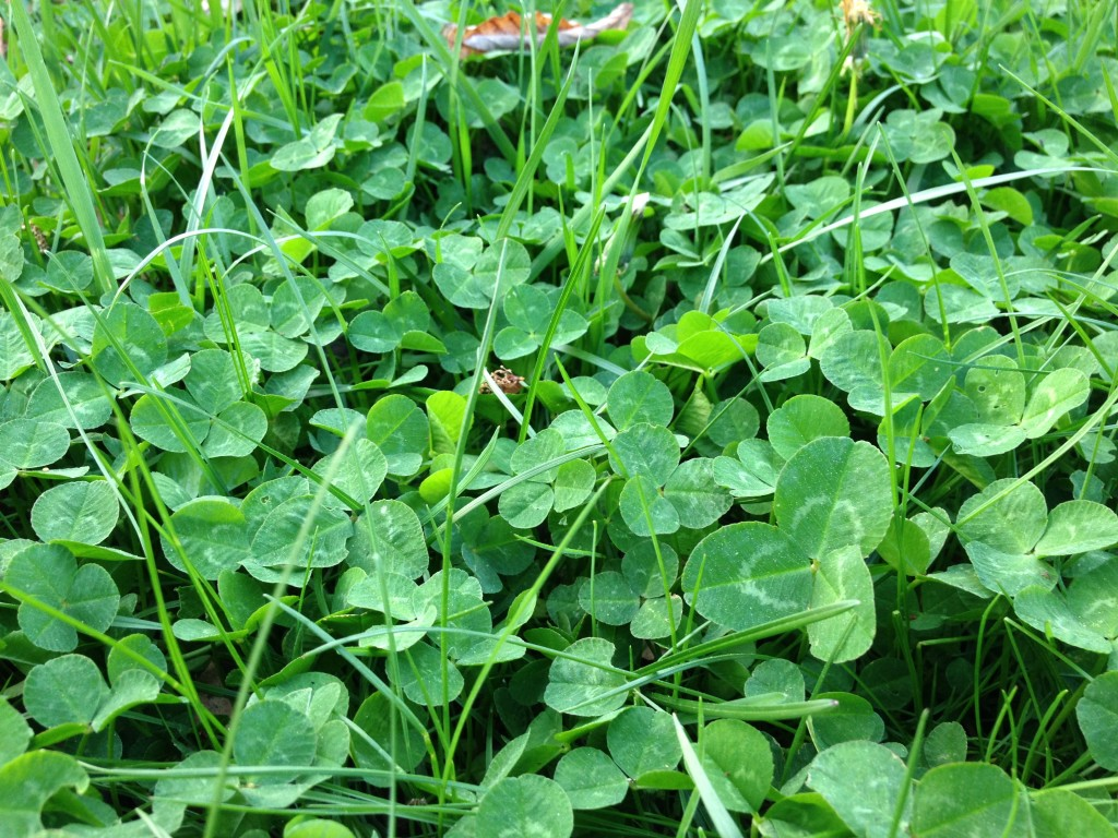 field of clover