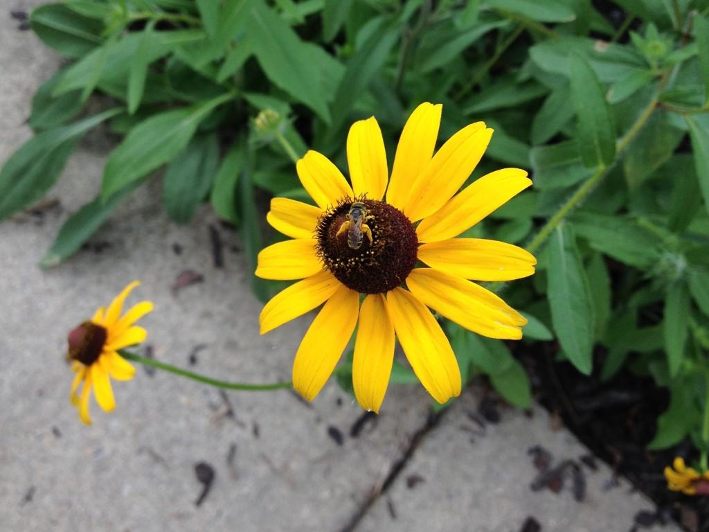 Bee pollinating Rudbeckia Hirta