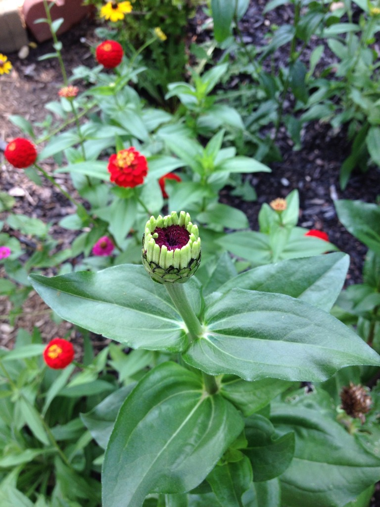 Zinnias about to open