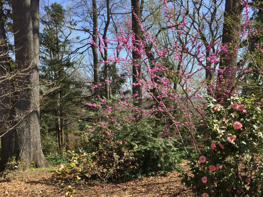 Redbud trees and camellias in bloom at the National Arboretum