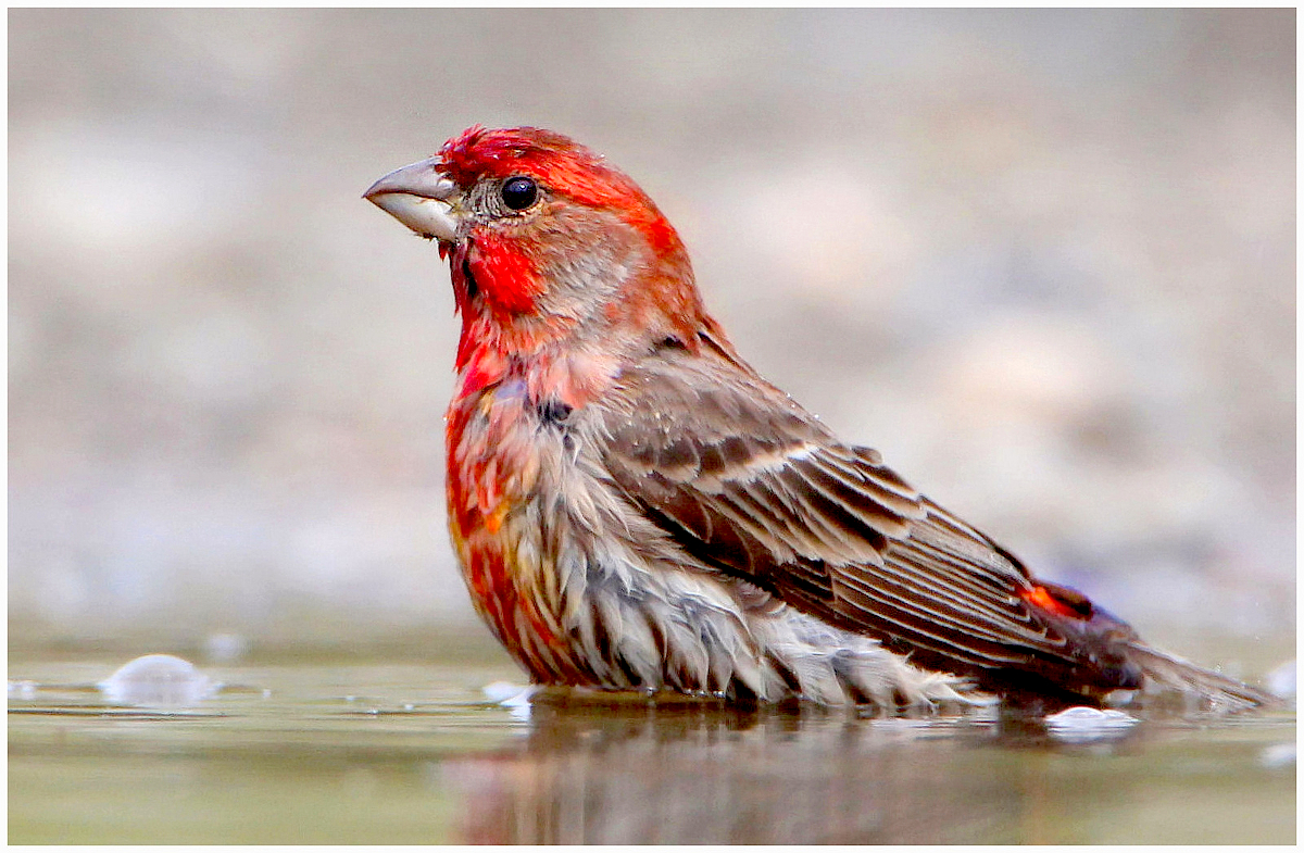 house finch nigel flickr