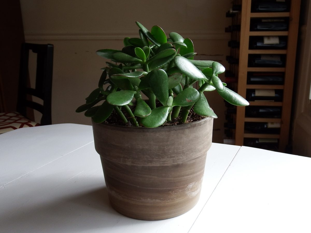 Jade plant easy houseplants to grow