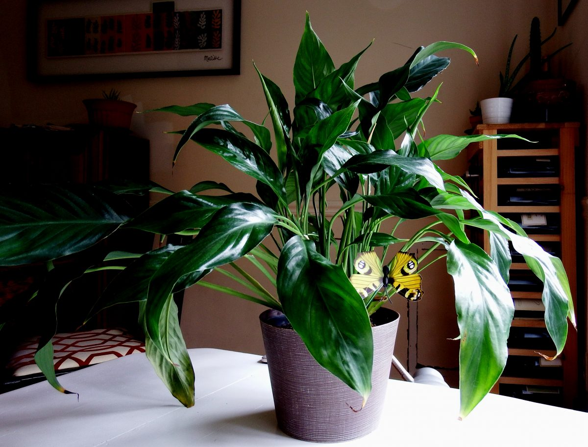 easy houseplants to grow Peace Lily