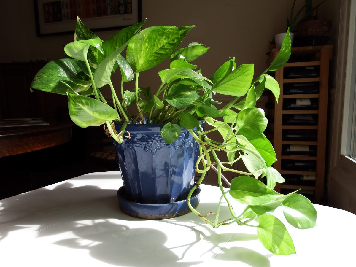 easy houseplants to grow pothos